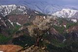 樽口峠のど根性桜