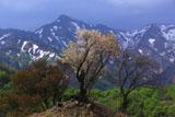 樽口峠の山桜