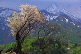 樽口峠の白山桜