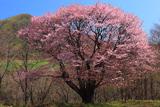 田代平高原の大山桜