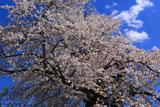 白山桜 遅い春