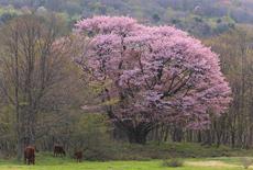 七時雨山の大山桜