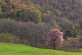 八幡平市 田代平高原の一本桜