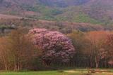 七時雨山の紅山桜