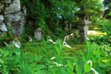 大原寺実光院 旧理覚院庭園のハンゲショウ