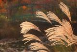 ガーデンミュージアム比叡 睡蓮の庭の花芒