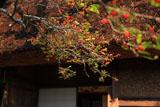 落柿舎 ウメモドキ