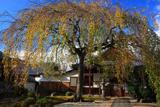 本満寺 桜紅葉と庫裡