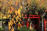 水火天満宮 桜紅葉