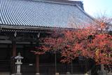本法寺 しぐれ雪の桜紅葉と本堂