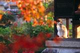 京都神光院 紅葉越しのネコ
