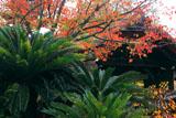 御香宮神社 ソテツと桜の紅葉