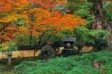 京都十輪寺 紅葉と大クスノキ