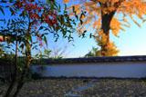 三鈷寺 南天と銀杏黄葉