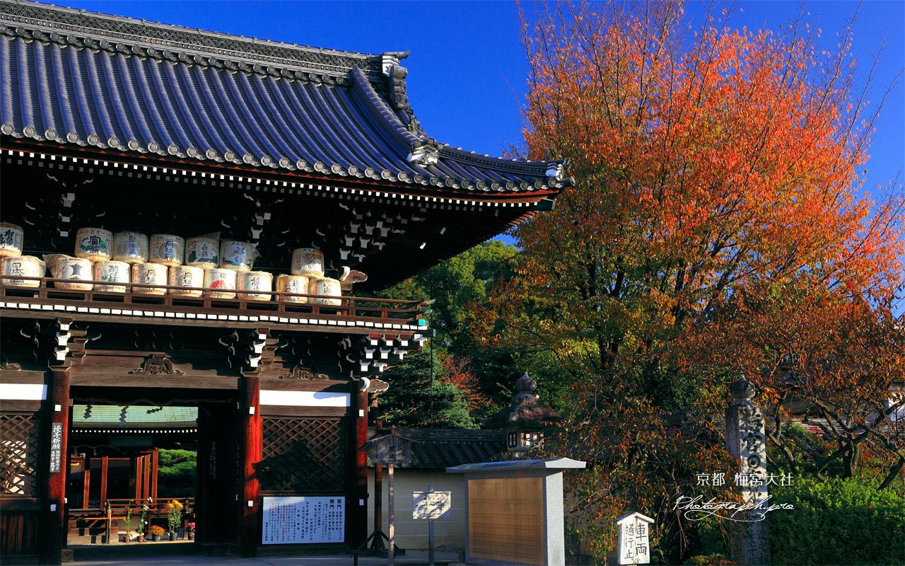 梅宮大社 楼門と山桜の紅葉 壁紙