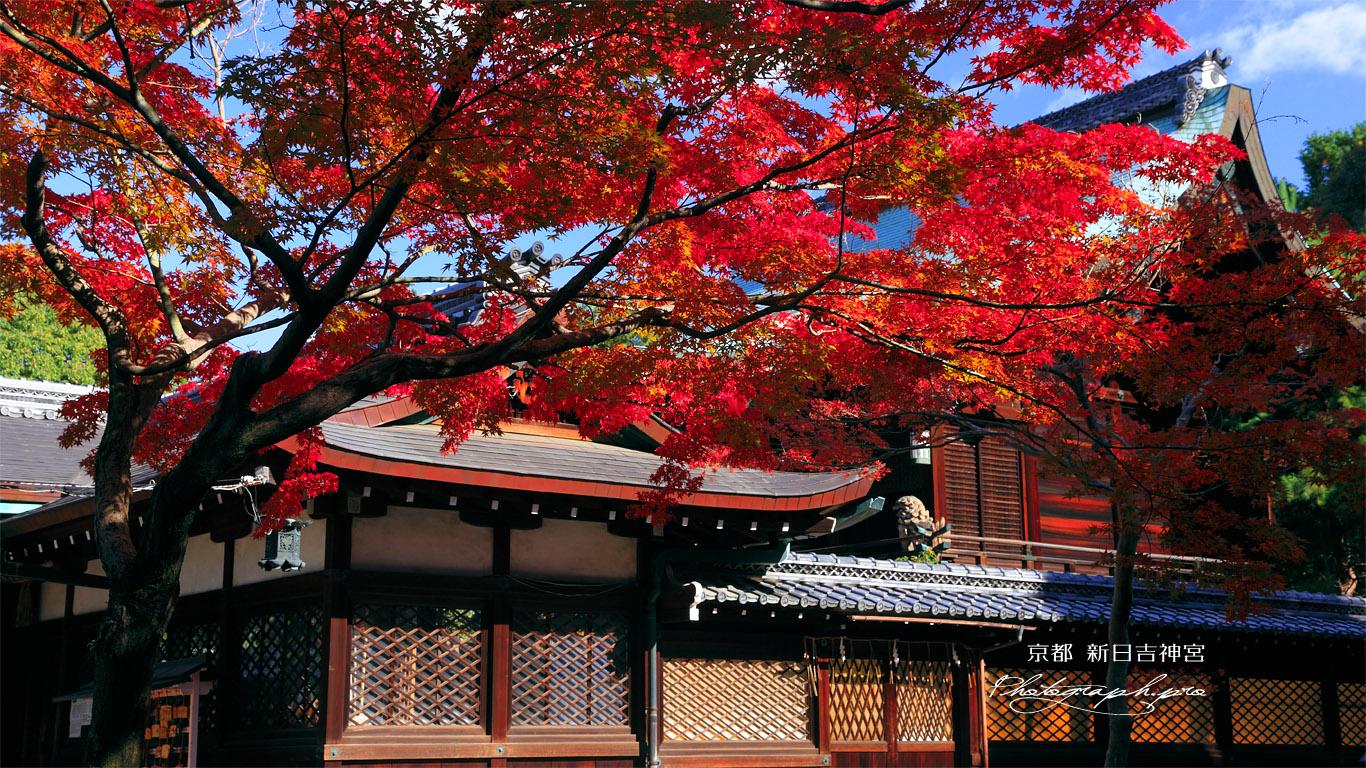 新日吉神宮 モミジと本殿 壁紙