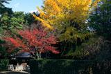 宗忠神社 銀杏黄葉と桜紅葉に御神水舎