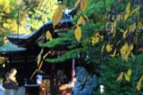 岡崎神社 桜紅葉