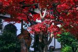 京都達磨寺 紅葉と達磨像