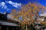 京都椿寺 桜紅葉
