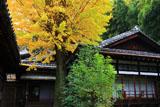 京都安養寺 イチョウ黄葉と客殿