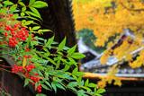 京都安養寺の南天