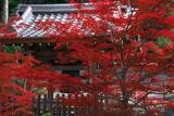 大谷祖廟 紅葉越しの鐘楼