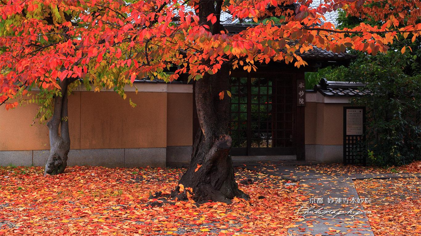 桜紅葉と妙蓮寺本妙院 の壁紙 1366x768