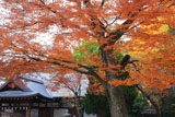 藤森神社 ケヤキ紅葉と斎館