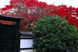 宝鏡寺 橘と紅葉