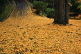 山崎聖天 イチョウの落葉