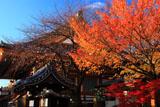 壬生寺 明星桜の桜紅葉と本堂
