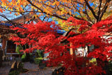 壬生寺 紅葉越しの本堂