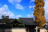 京都高山寺(西院) 銀杏黄葉