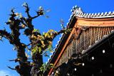京都上徳寺 菩提樹の紅葉と本堂