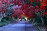 京都鷺森神社 宵のモミジ参道