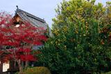 乙訓寺 柑橘樹と紅葉