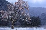 京都久多 雪中の残柿