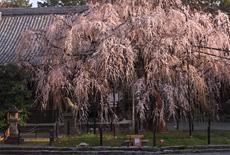 野依八幡社のシダレザクラ