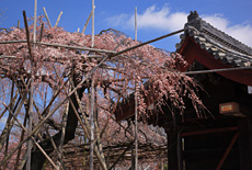 宿縁寺のシダレザクラ