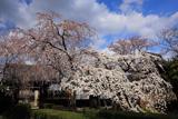 聖善寺のしだれ桜