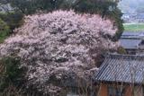 志葉都神社の江戸彼岸桜