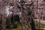 行福寺の枝垂桜