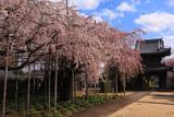 行福寺の枝垂れ桜