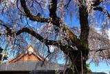 円明寺のしだれ桜
