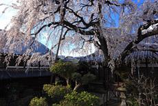 円明寺の枝垂れ桜