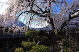円明寺のシダレザクラ