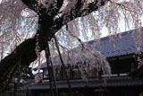 円明寺の枝垂桜