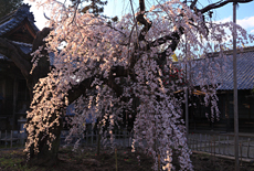 笑面寺の枝垂桜