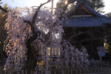 笑面寺のしだれ桜